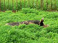 Boar, Roves Farm, Sevenhampton - geograph.org.uk - 828221.jpg