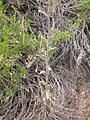Boechera retrofracta (Arabis holboellii) (4049560599).jpg