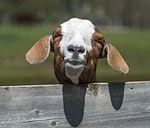 Boer Goat (8742860752).jpg