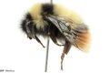 Bombus tibeticus.png