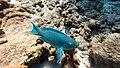 Bonaire 2014 parrot2 (13466175953).jpg