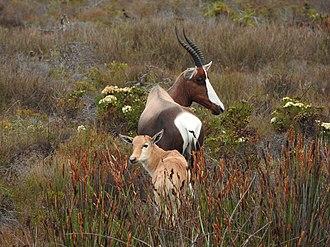 Bontebok - Bontebok with calf in the fynbos.