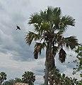 Borassus aethiopum, Rwebisengo - Flickr - Dave Proffer (10).jpg