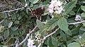 Borboleta ou Mariposa de coloração Marrom,encontrado sobre a flor na região de Mata Cipó, derivação de Mata Atlântica -Ba.jpg