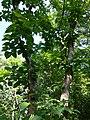 Botanical Garden in Poznan (Populus lasiocarpa) (2).jpg