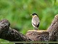 Brahminy Starling (Sturnia pagodarum) (43045855932).jpg