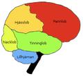 Brainlobes-sv.png