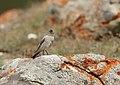 Brandt's Mountain Finch (Leucosticte brandti) (48701034411).jpg