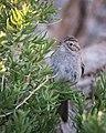 Brewer's Sparrow (34887736402).jpg