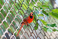 Brilliant Red Cardinal in a Fence (19616536129).jpg