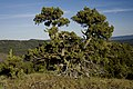 Bristlecone Pine on Fields Park Trail-Malheur (23304904443).jpg