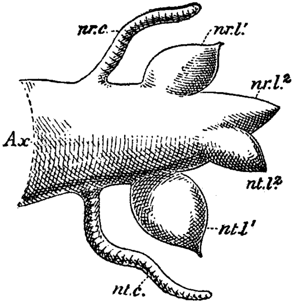 file britannica 1911 arthropoda - polychaet chaetopod parapodium png