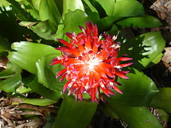 Bromelioideae Wikispecies