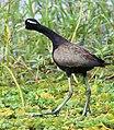 Bronze-winged jacana during mating call.jpg