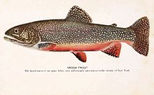 Old colored print of brook trout