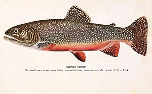 Trout - Salvelinus: brook trout, S. fontinalis