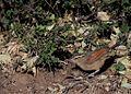 Brown-crowned Tchagra, Tchagra australis, at Marakele National Park, South Africa (7796677690).jpg