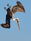Brown Pelican Dive.jpg