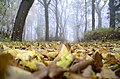 Brumaire-Leaves beneath a fuzzy-misty beech-wood on the formerly grounds of Semnonia (9th November 2011) (6330233720).jpg