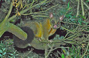 Waitoreke - The common brushtail possum - like the smaller thin-tailed common ringtail possum - lives in trees.