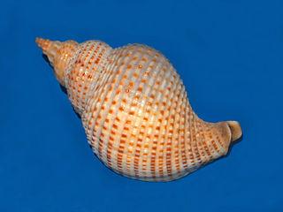 <i>Siphonalia</i> Genus of gastropods