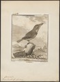 Bucco tamatia - 1700-1880 - Print - Iconographia Zoologica - Special Collections University of Amsterdam - UBA01 IZ16800005.tif