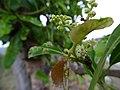 Buchanania axillaris (Cuddapah Almond) 10.jpg