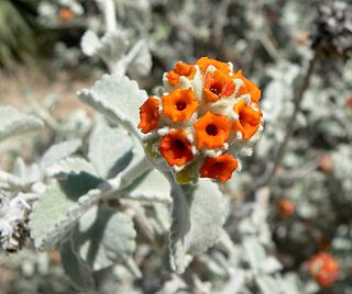 <i>Buddleja marrubiifolia</i> species of plant