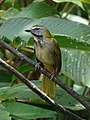Buff-throated Saltator (40030616584).jpg