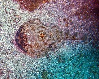 Ocellated electric ray species of fish