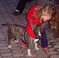 Bullterrier and girl.jpg