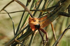 Calotes sp. male Bunglon, hewan yang warna tub...
