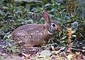 Bunny (30107041227).jpg