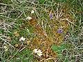 Burren Flora 07 Milkwort, Mountain Avens (3585273927).jpg