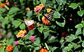 Butterflies on Lantana (21919706035).jpg