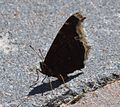 Butterfly Mammoth Lakes (20140420-0071).JPG