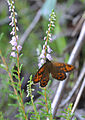 Butterfly Wall brown 02.jpg