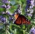 Butterfly on Butterfly Bush (18470801).jpg