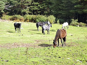 CABALLOS PACIENDO FUENFRÍA 01.jpg