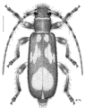 COLE Cerambycidae Zorion.png