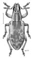 COLE Curculionidae Sitona discoideus m.png