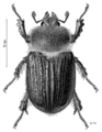 COLE Lucanidae Dendroblax eralii m.png