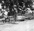 COLLECTIE TROPENMUSEUM Een os trekt een lorrie met kalksteen Gamping bij Djogja TMnr 10013819.jpg