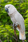 Cacatua moluccensis -Cincinnati Zoo-8a.jpg