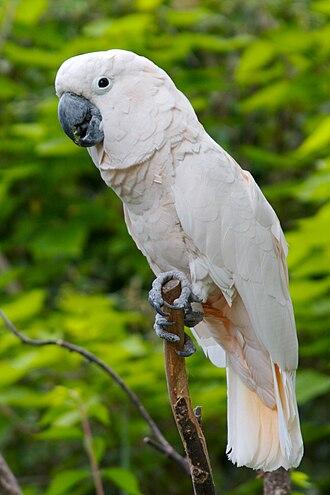 Salmon-crested cockatoo - At Cincinnati Zoo