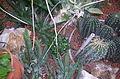 Cactaceae Dcp 4289.jpg