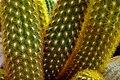 Cactaceae in iran- mahallat city کاکتوس های گلخانه های محلات- ایران 28.jpg