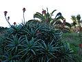 Cactus (356401754).jpg