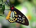 Cairns Birdwing 6 (8623138366).jpg