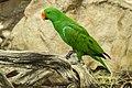 Cairns Eclectus Parrot-2 (23820086703).jpg